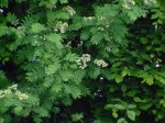 Sorbus – Popular Shrubs for the Garden