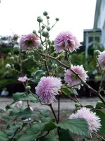 Rubus – Popular Shrubs for the Garden