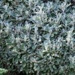 Senecio – Popular Shrubs for the Garden