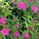 Spiraea – Popular Shrubs for the Garden