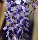 Wisteria – Popular Shrubs for the Garden