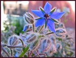 Grow Herbs – Borage (Borago Officinalis)