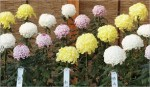 Raising Chrysanthemum Plants for Exhibition – Perfect Chrysanthemum Blooms