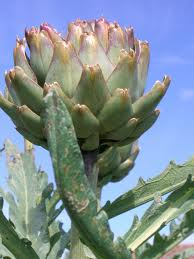 Growing Artichokes in the Vegetable Garden