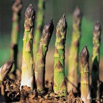 Growing Asparagus in the Vegetable Garden