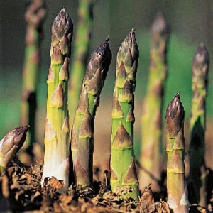 growing asparagus