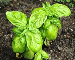 Growing Basil - Sweet Basil, Ocimum Basilicum