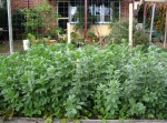 How to Grow Broad Beans in the Vegetable Garden