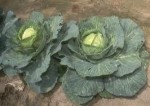 Growing Cabbage including Savoy Cabbage in the Vegetable Garden