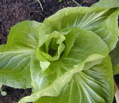 growing chicory