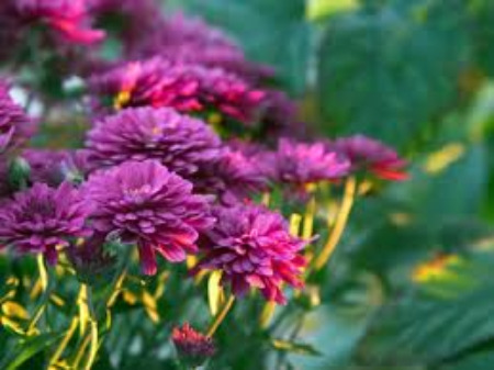 Growing Chrysanthemums