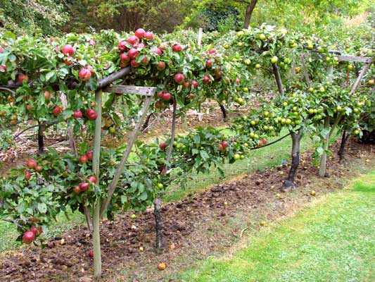 The fruit garden growing fruit and fruit trees for Growing gardens