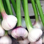 Growing Garlic – Allium Sativum