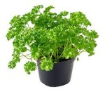 Growing Parsley – Discover How to Grow Parsley