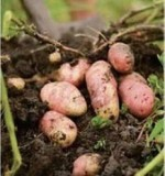 Start Growing Potatoes – Best Potato Growers Tips