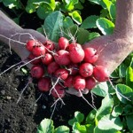 Growing Radishes in Your Home Vegetable Garden