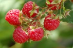 Growing Soft Fruit – Growing Berries, etc.
