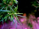 Growing Rosemary – Discover How to Grow Rosemary