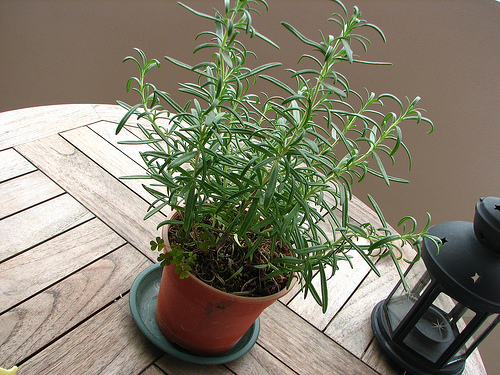 Growing rosemary 3