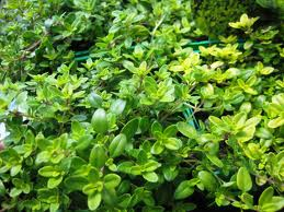 growing thyme plants