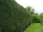 Hedging Plants as Garden Boundaries
