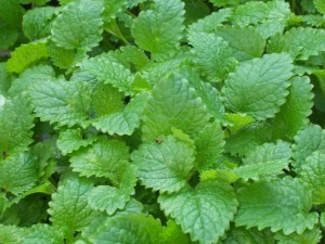 melissa officinalis lemon balm