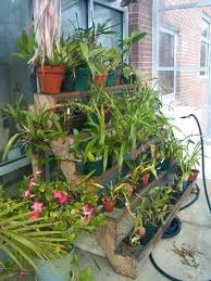 orchid cultivation - greenhouse staging