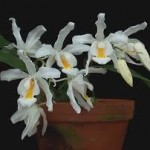 orchid types - Coelogyne cristata