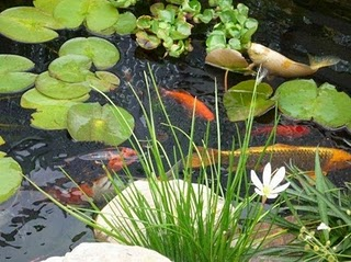 caring for pondfish in water garden ponds
