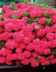 popular shrubs - Hydrangea