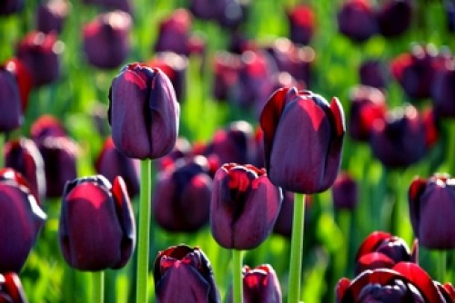 Top Tips For Planting Tulip Bulbs Gardening Info Zone