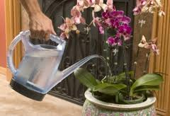 how to care for orchids - watering orchids