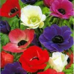 summer blooming bulbs - Anemone