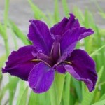 winter flowering bulbs - Iris