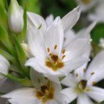 spring blooming bulbs - Ornithogalum