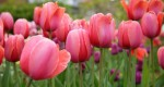 Blooming Bulbs Create Year Round Colour in Your Garden