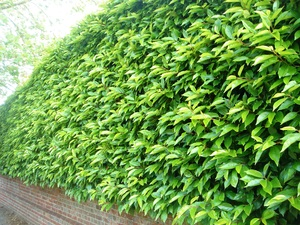 hedge care tips