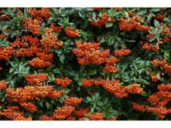 planting hedges - pyracantha