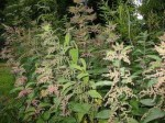 How to Feed Established Plants – DIY Comfrey & Nettle Feeds