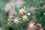 Organic Sprays Against Greenhouse Pests and Diseases