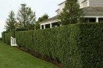 Types of Hedging for Your Garden