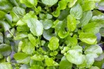 Land Cress and American Cress –  How to Grow It