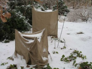 protecting plants from snow