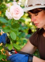 3 Basic Steps to Pruning Roses