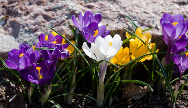 How To Grow Spring Blooming Bulbs Corms And Tubers