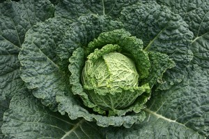 Guide to Growing Cabbages