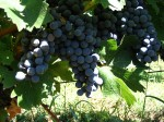 Guide to Growing Grapes – How to Grow Grapes