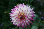 Plant Pests and Diseases affecting Dahlia Plants