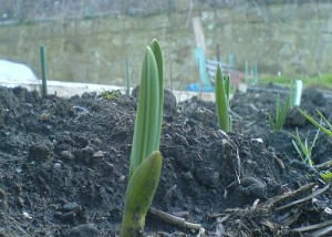 Guidelines for Growing Garlic