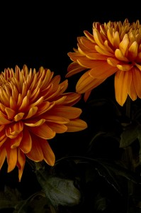 plant pests and diseases affecting chrysanthemum plants